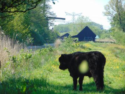 amsterdam-castle-tour-galloway-cow
